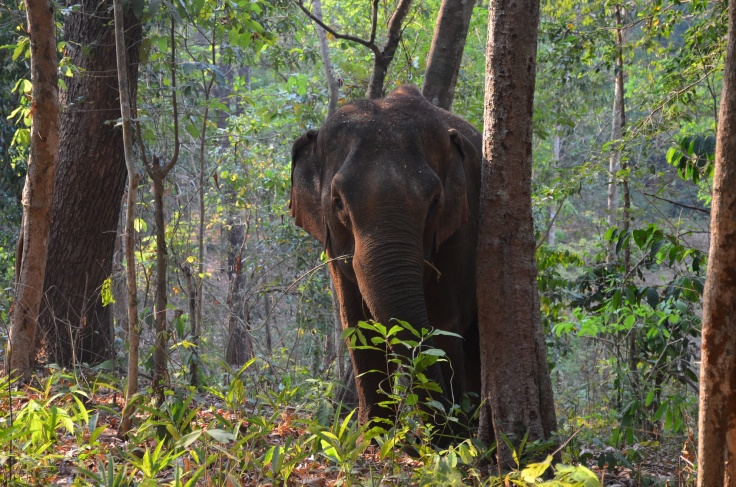 Asian Elephant in Jungle, Cambodia