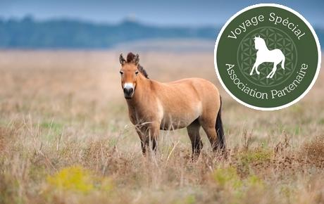 Przewalski's horse in autumn field