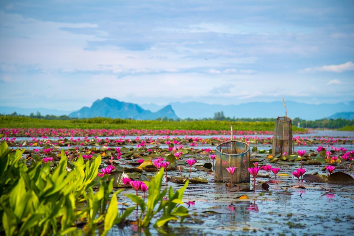 Thale Noi, le plus grand Sanctuaire d'Oiseaux de Thaïlande sur un Lac de Lotus Roses !