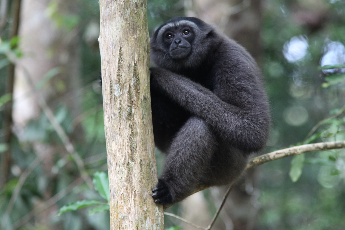 Kalaweit, Sauvegarde des Gibbons et des Forêts Indonésiennes.